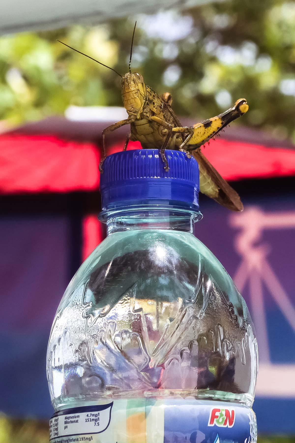 Кузнечик-сторож на Лангкави