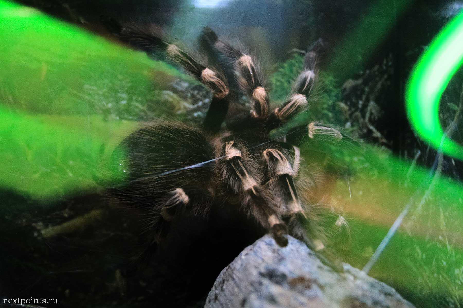 Тарантул в террариуме океjнария Aquaria