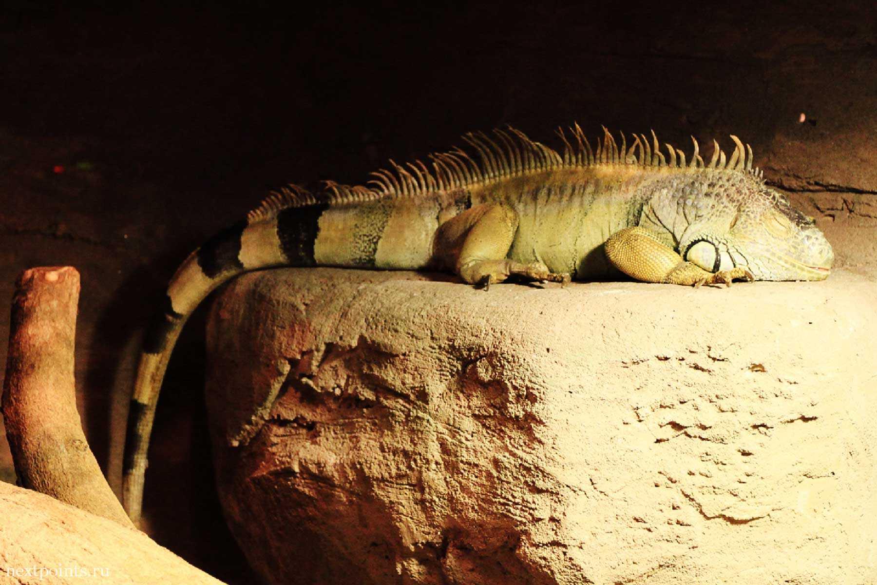 Полосатый земноводный дракон в океанариуме