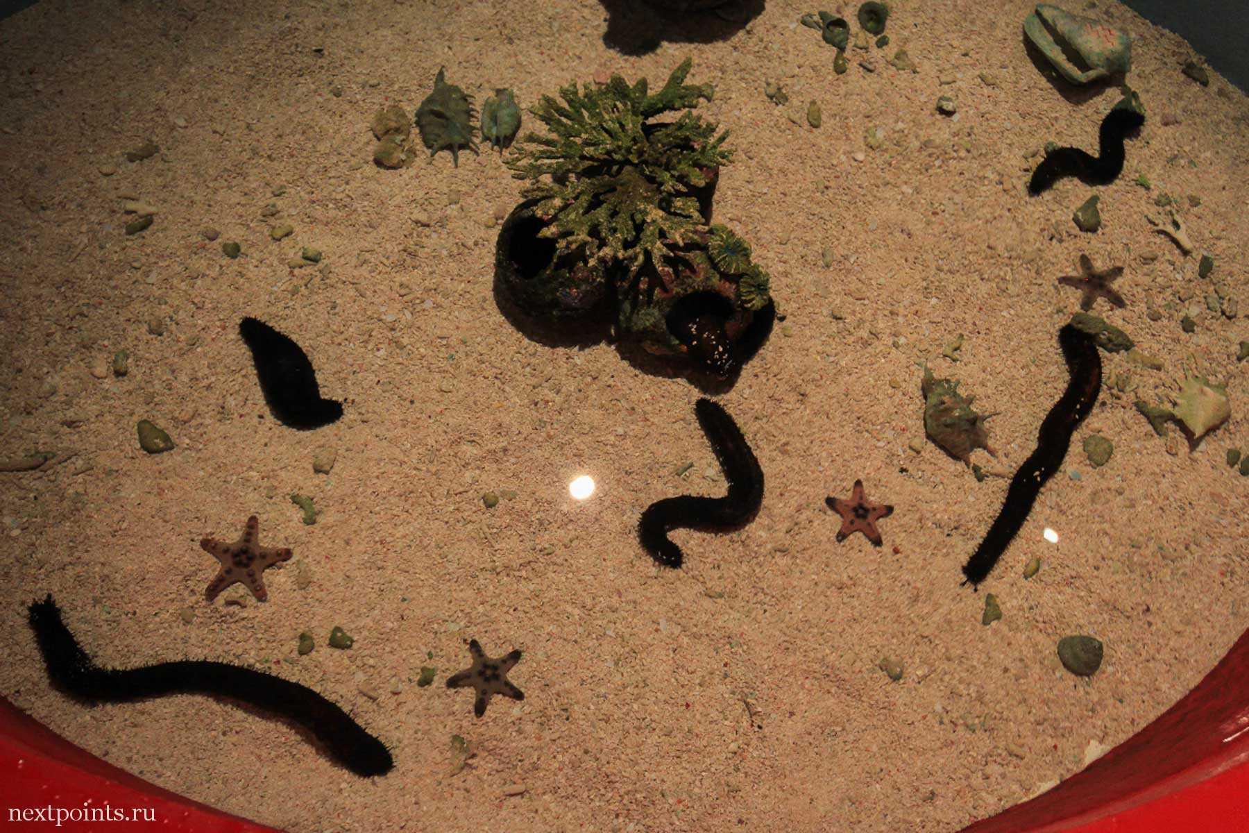 Морские огурцы в океанариуме Aquaria