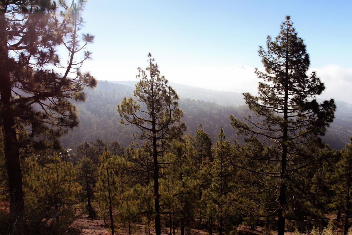 Сосновые леса Тенерифе