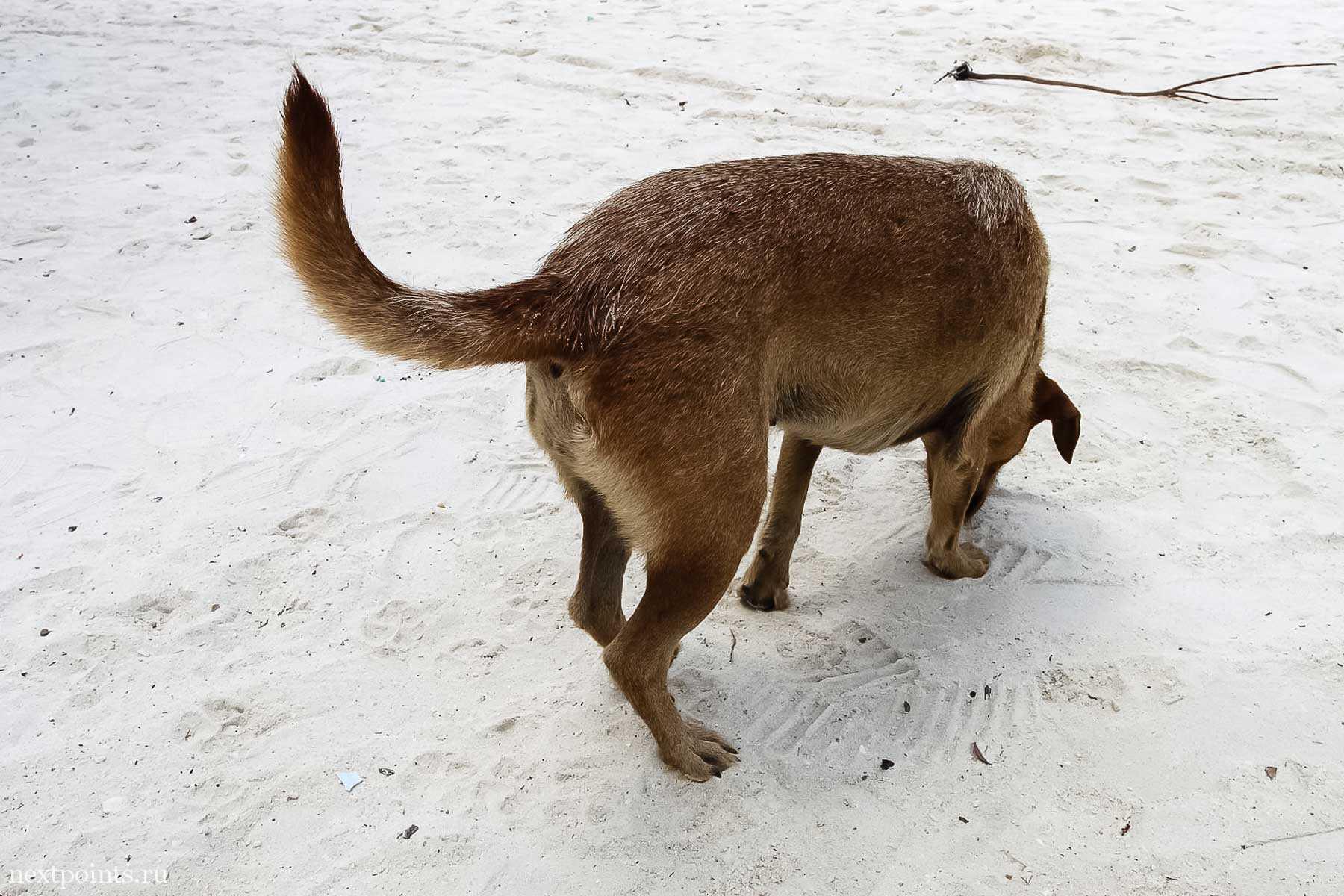 Собачка на Ко Липе что-то ищет в песке