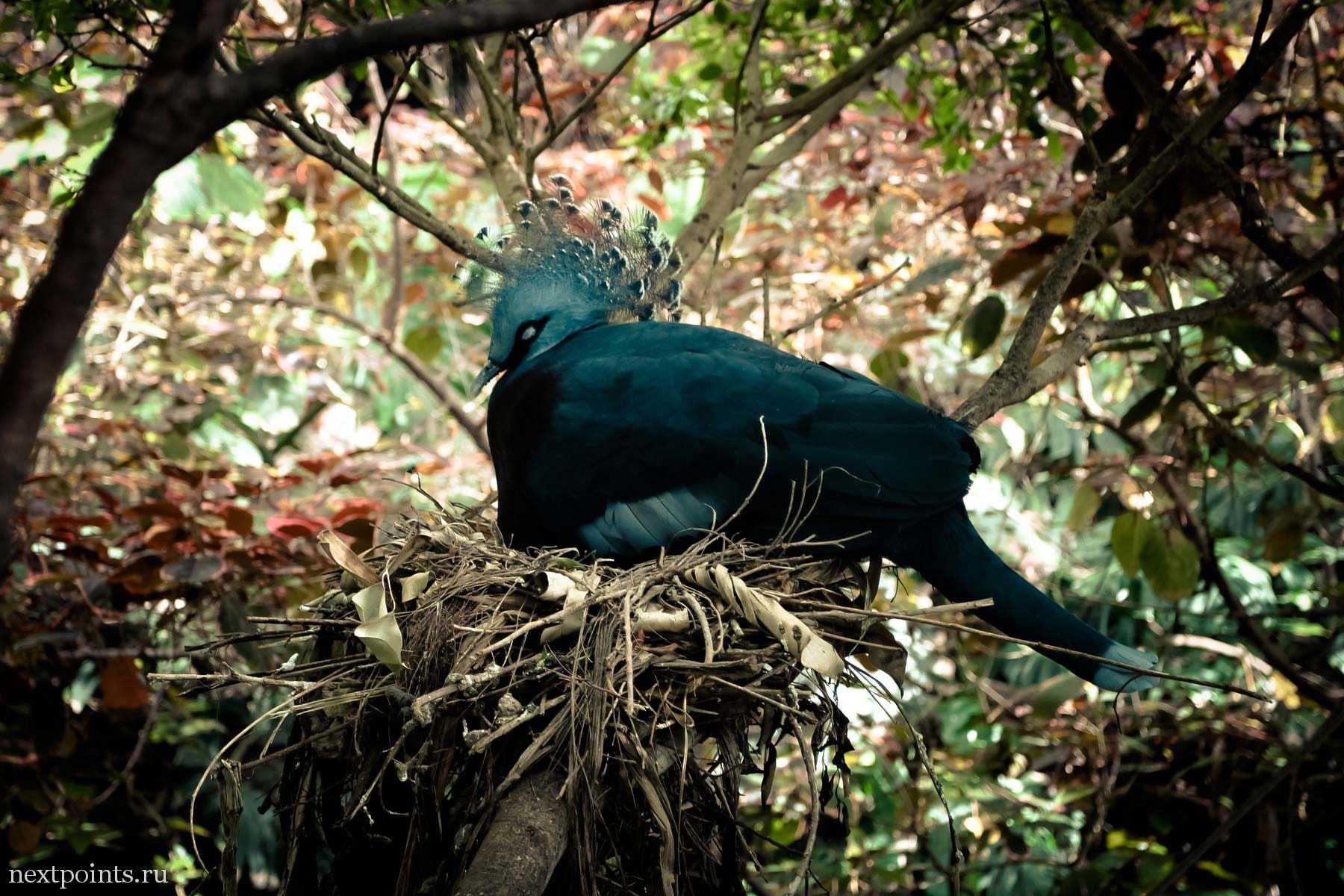 Венценосный голубь спит в Лоро Парке