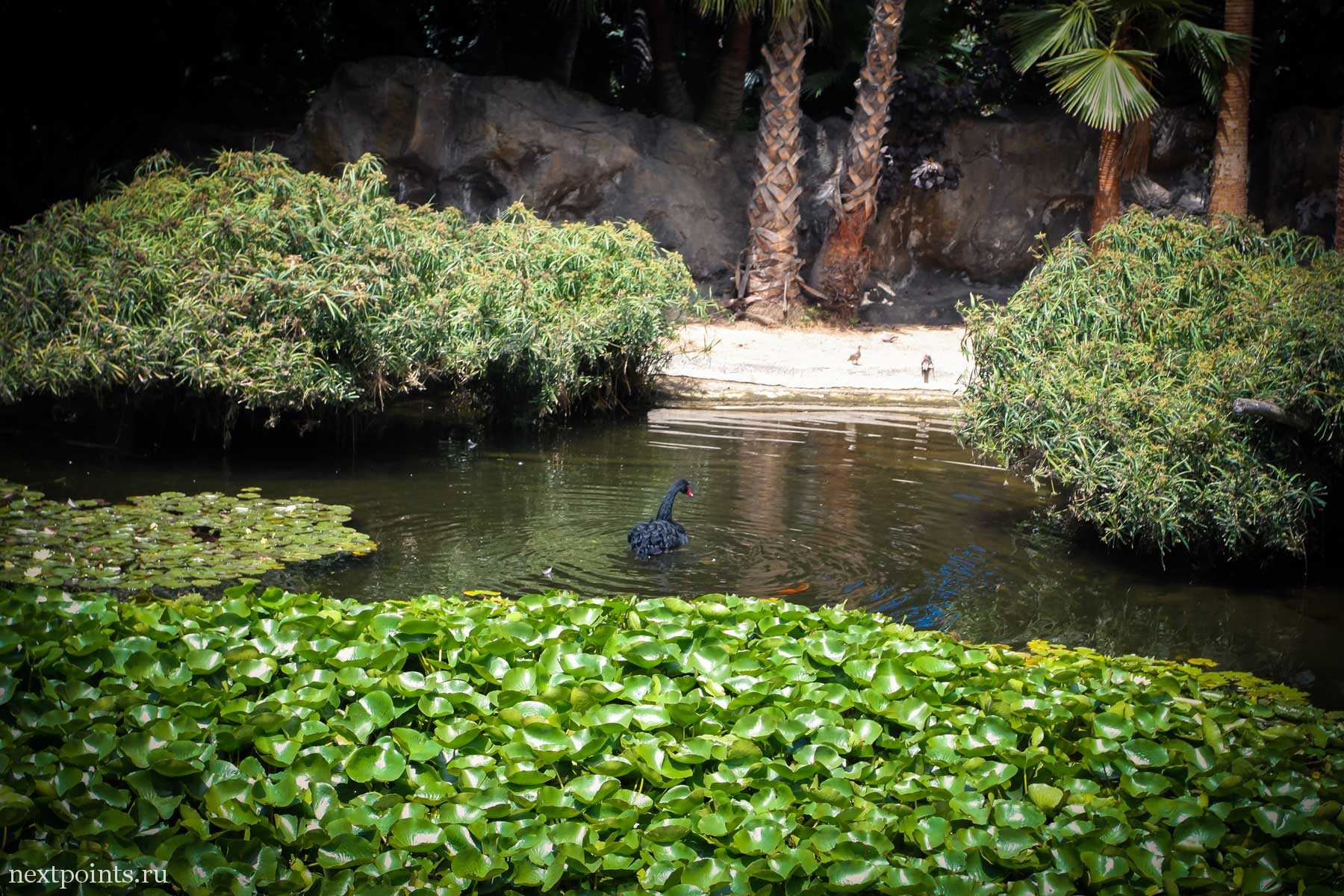 Черный лебедь в Лоро Парк (Loro Park)