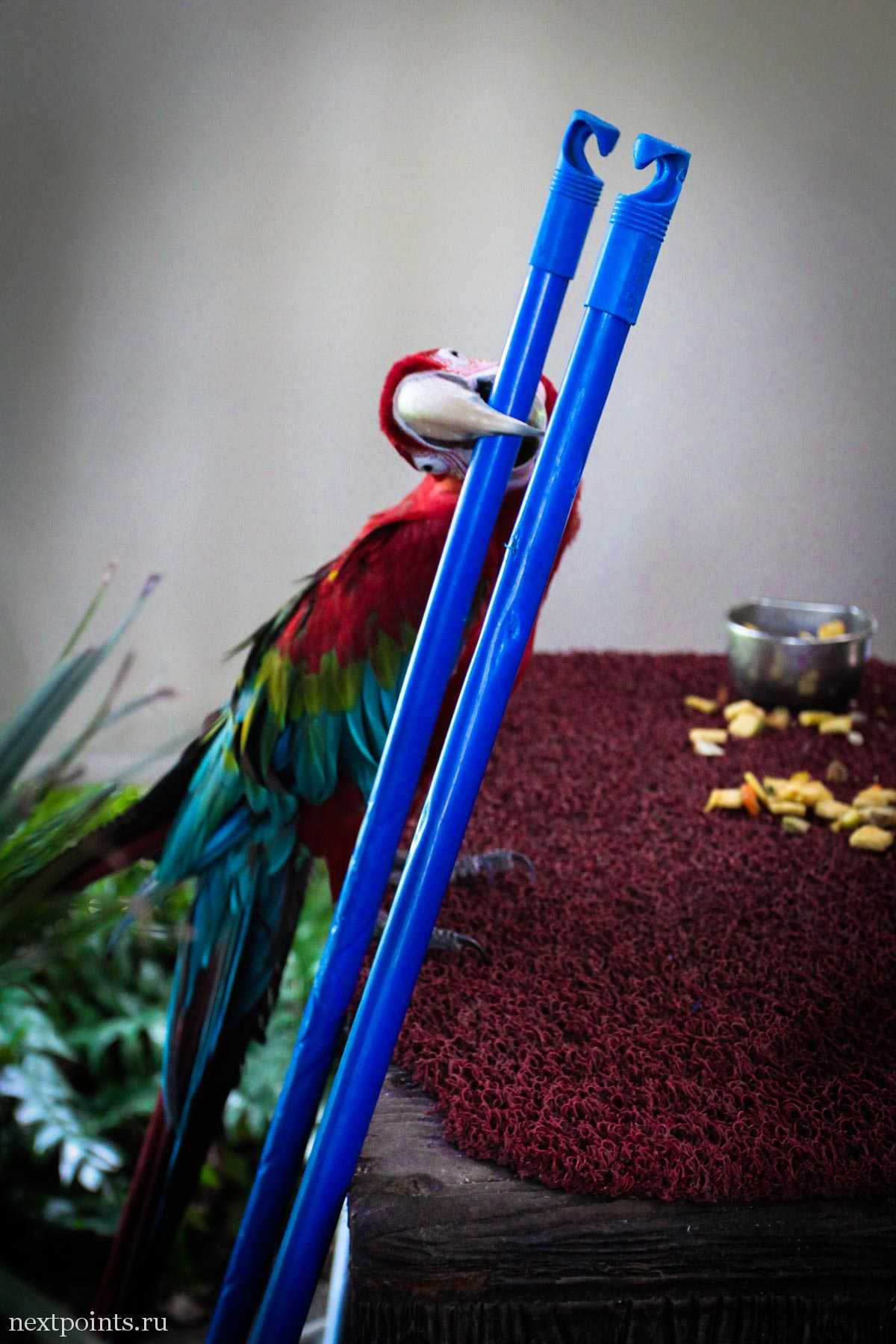 Попугай грызет палку