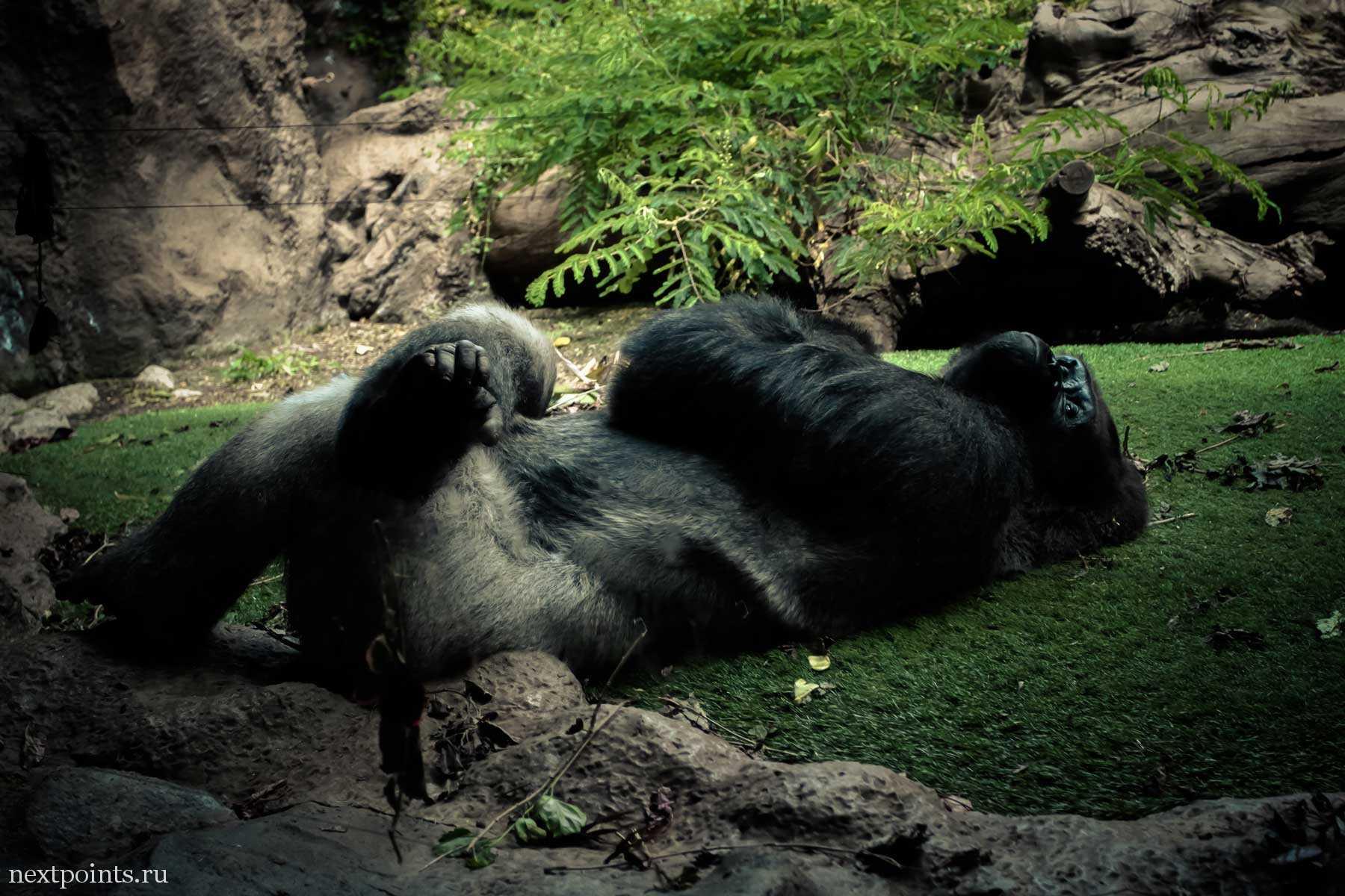 Отдыхающая горилла в Лоро Парке (Loro Park)