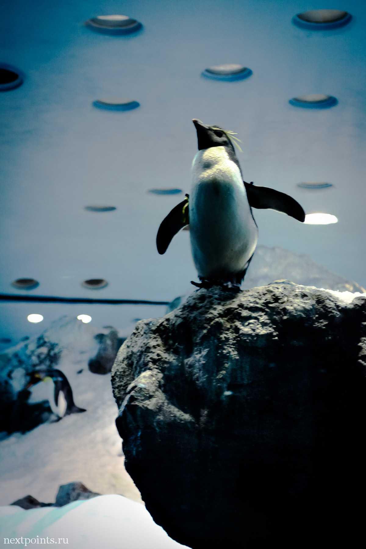 Показывающий себя пингвиненок
