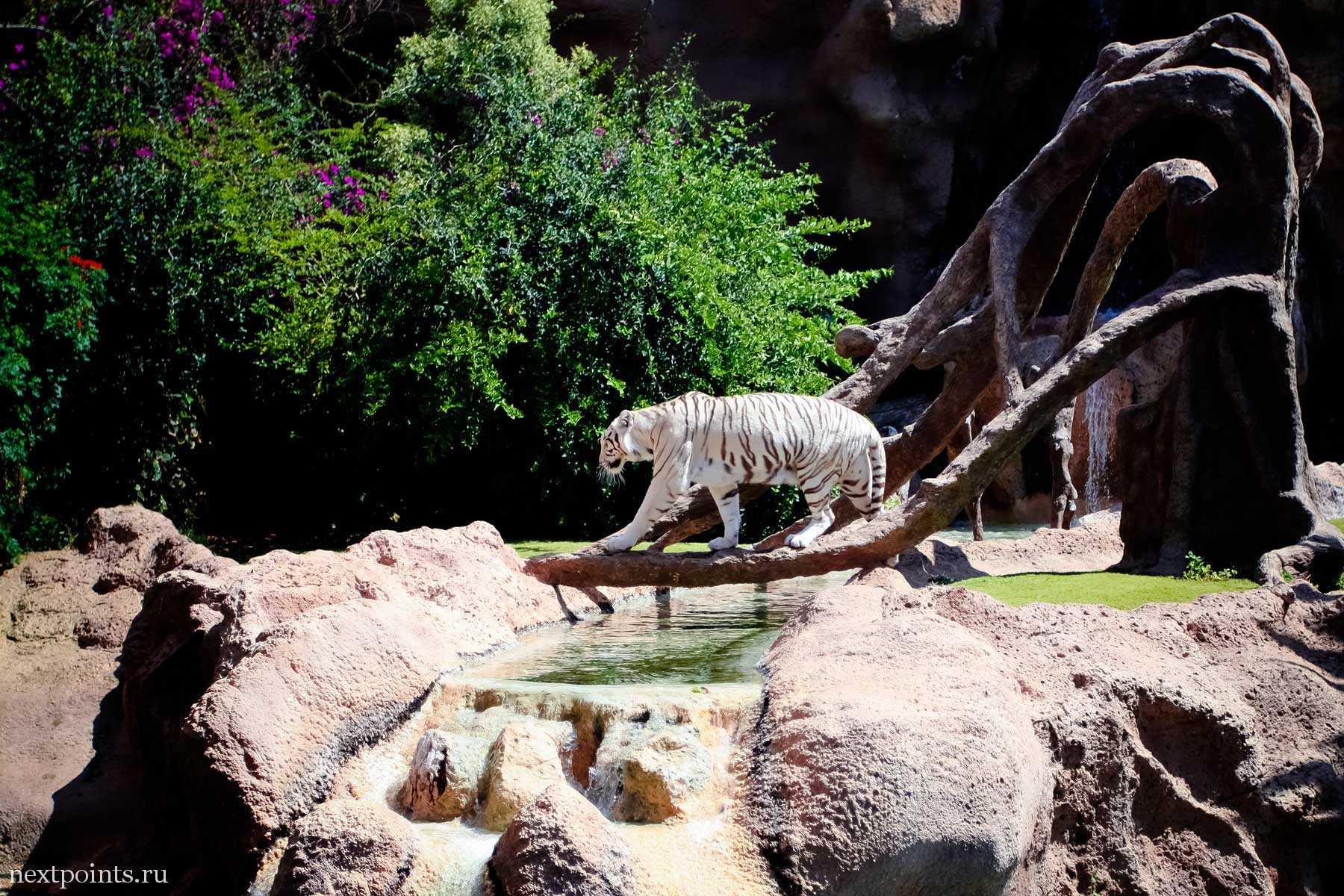 Белоснежный тигр в Лоро Парке