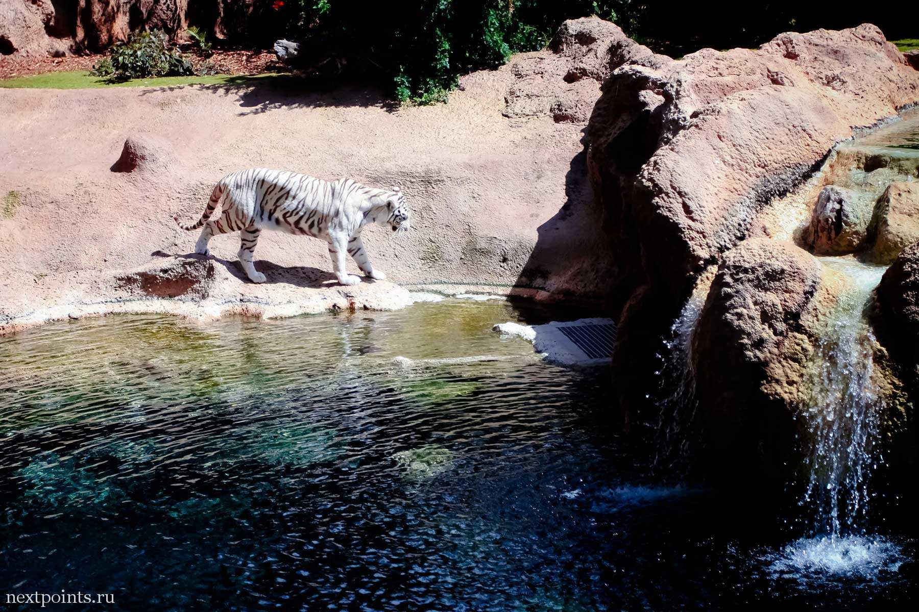 Тигр идет на водопой в Лоро Парке