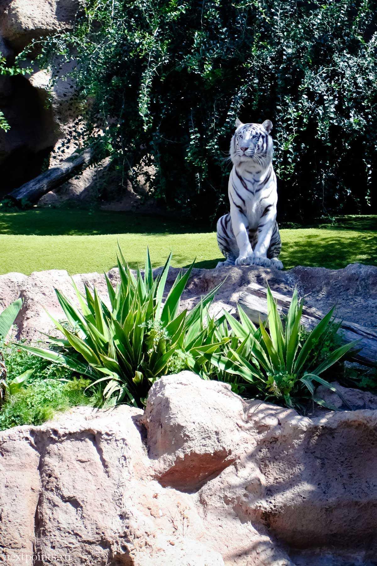 Тигр внимательно смотрит на посетителей Лоро Парка