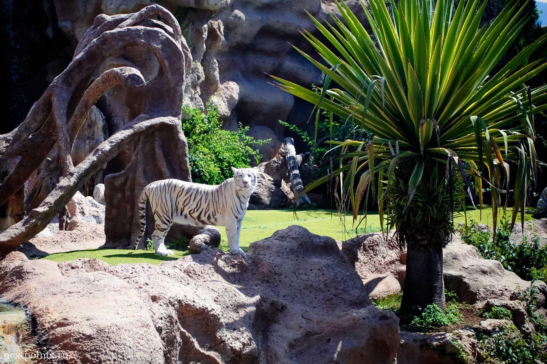 Тигр смотрит в глаза