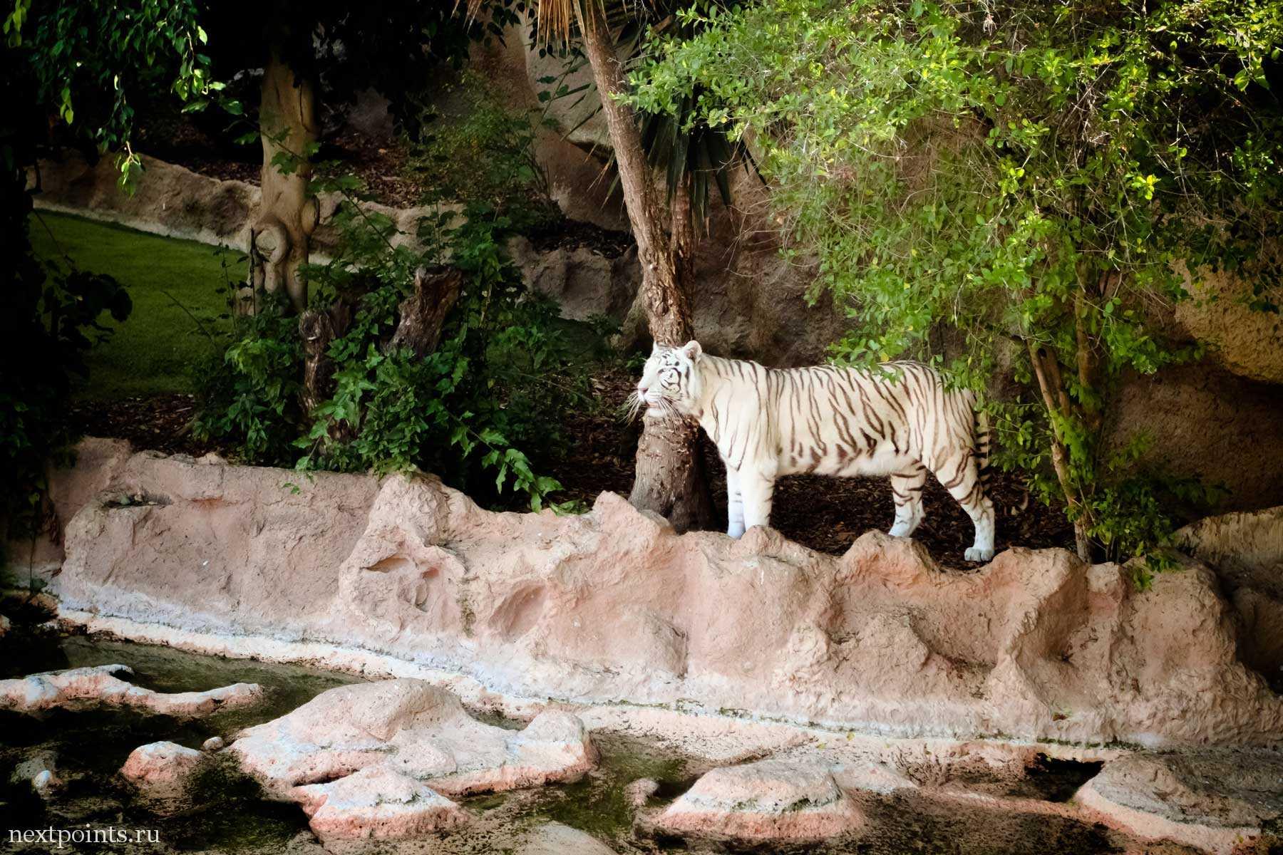 Белый тигр в зоопарке на Тенерифе