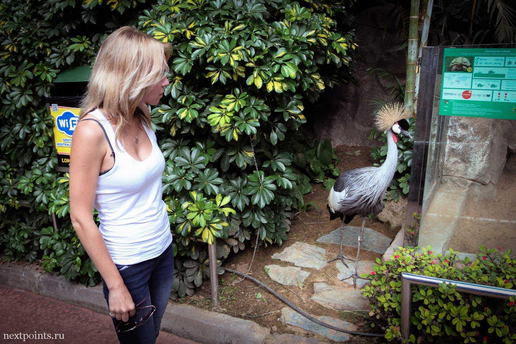 Венценосный журавль спокойно гуляет по Лоро Парку
