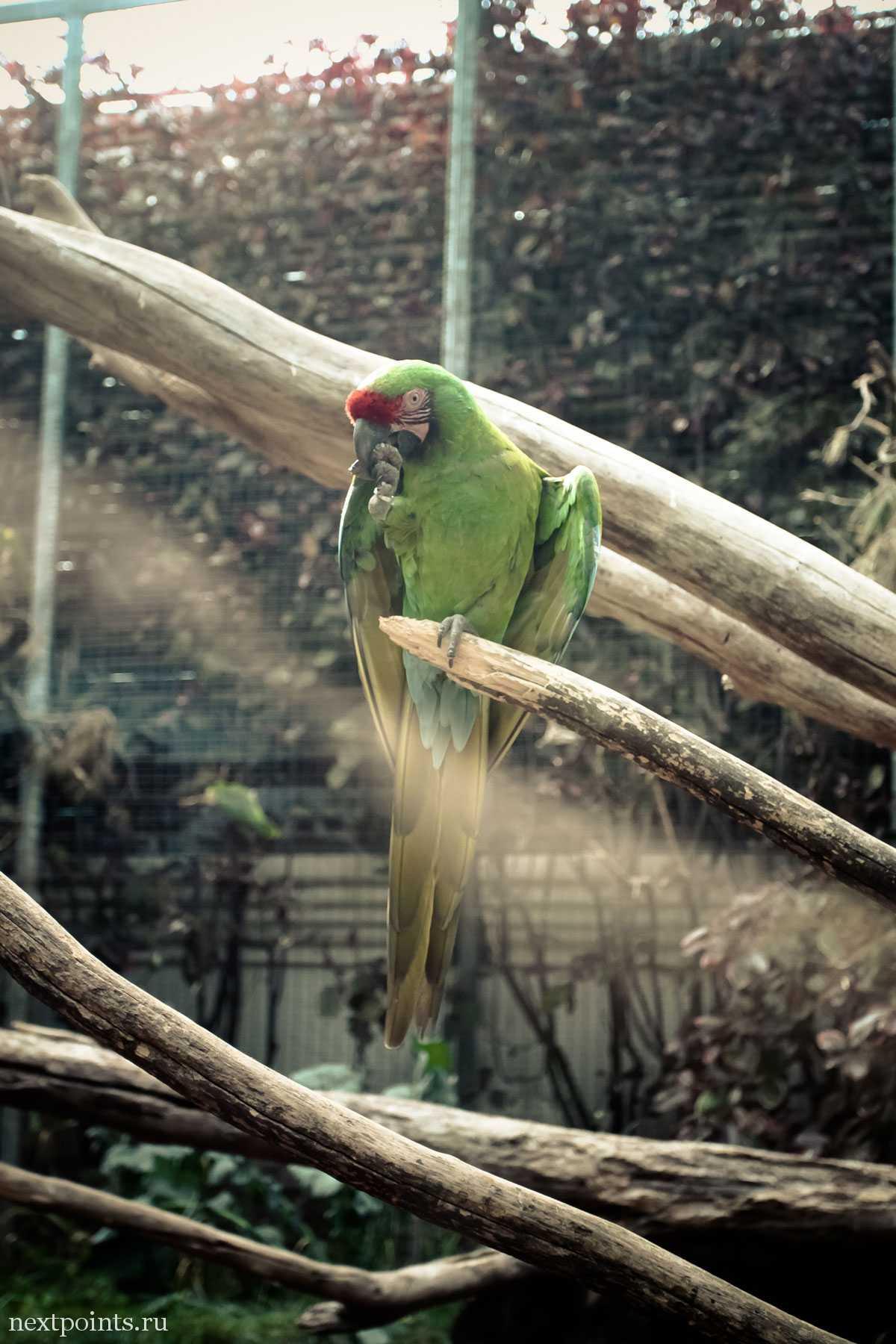 Попугай чистит перышки