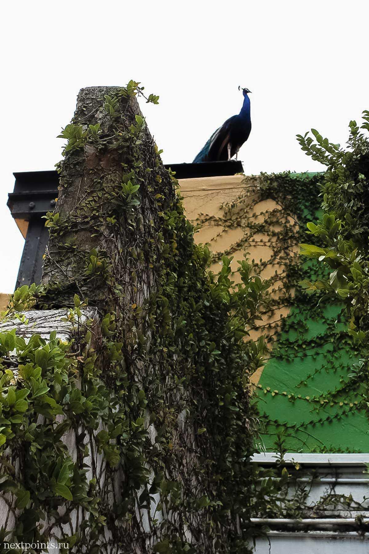 Павлин на крыше