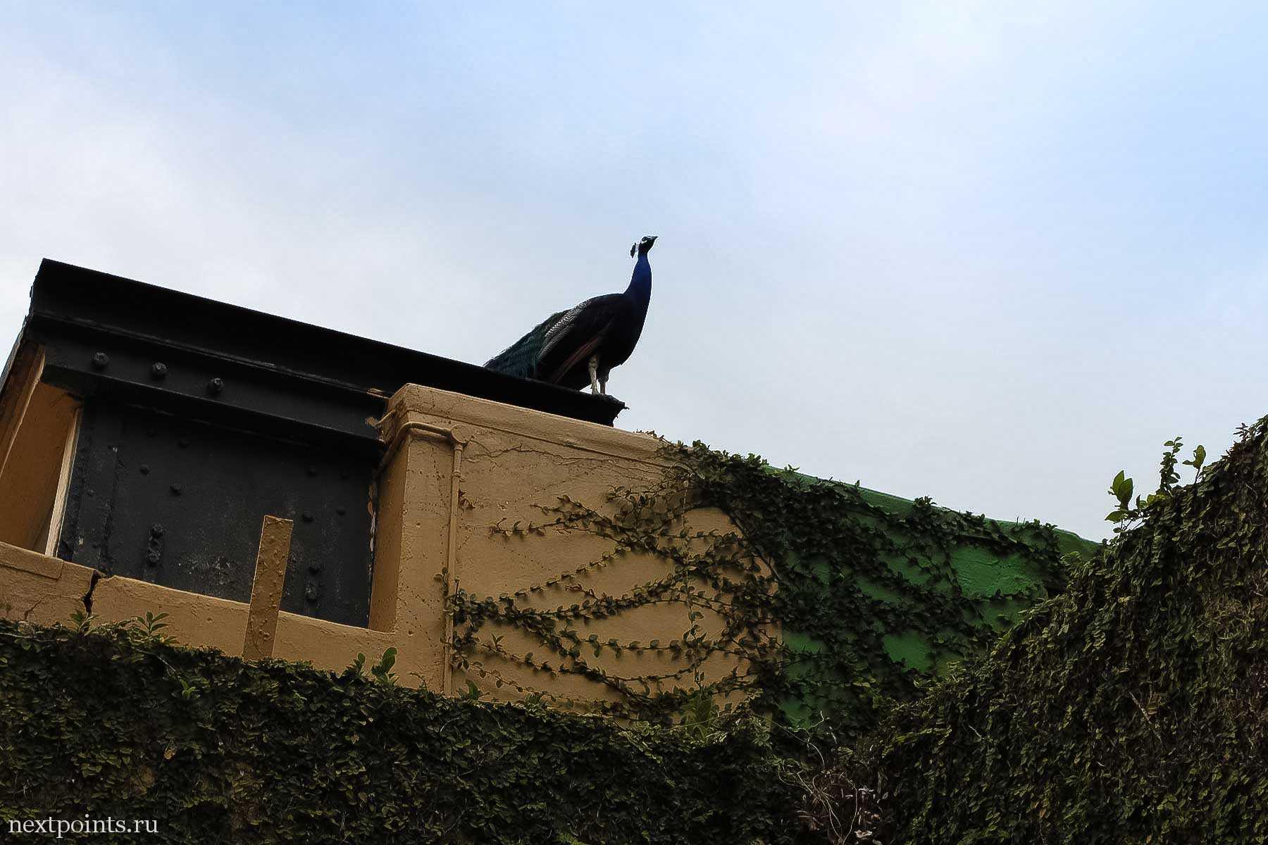 Гуляющий по Форту Силосо, горланящий павлин
