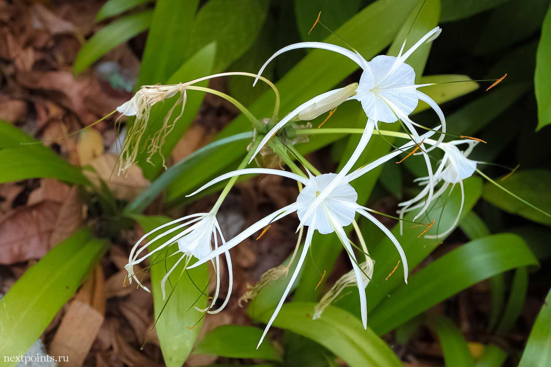 Красивый цветок на Сентозе