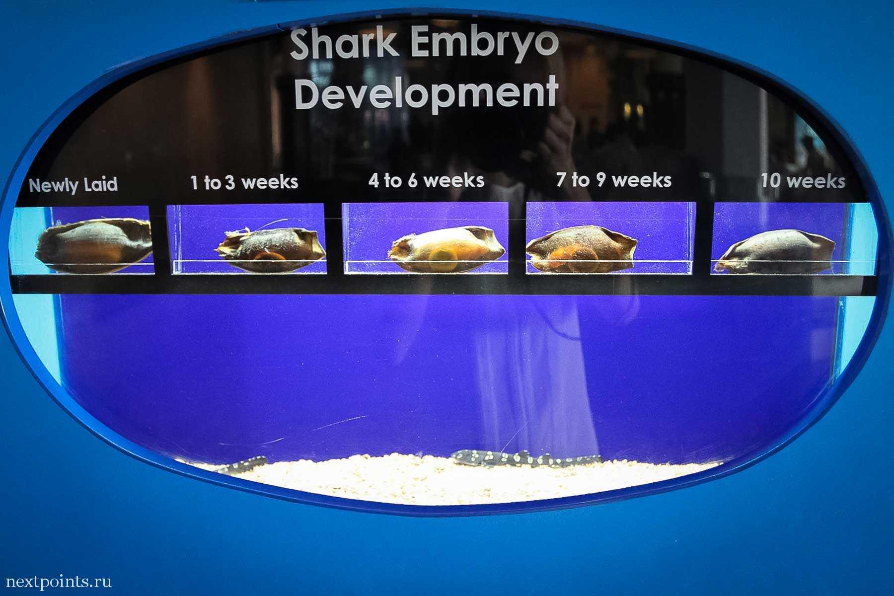 Процесс роста маленькой акулы. Вблизи казалось, что эмбрионы двигались. Может, они живые?