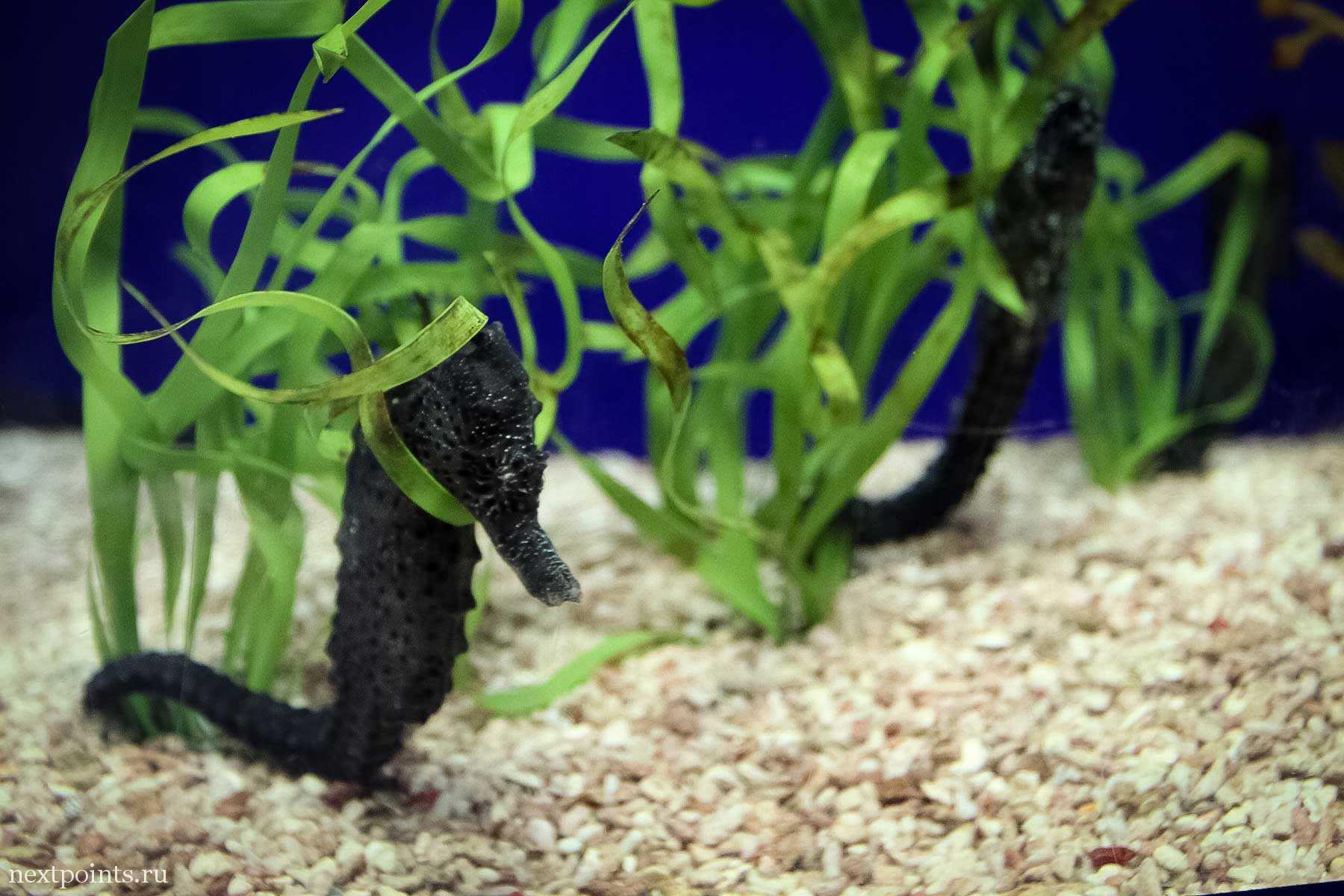 Морской конек в океанариуме Сентозы