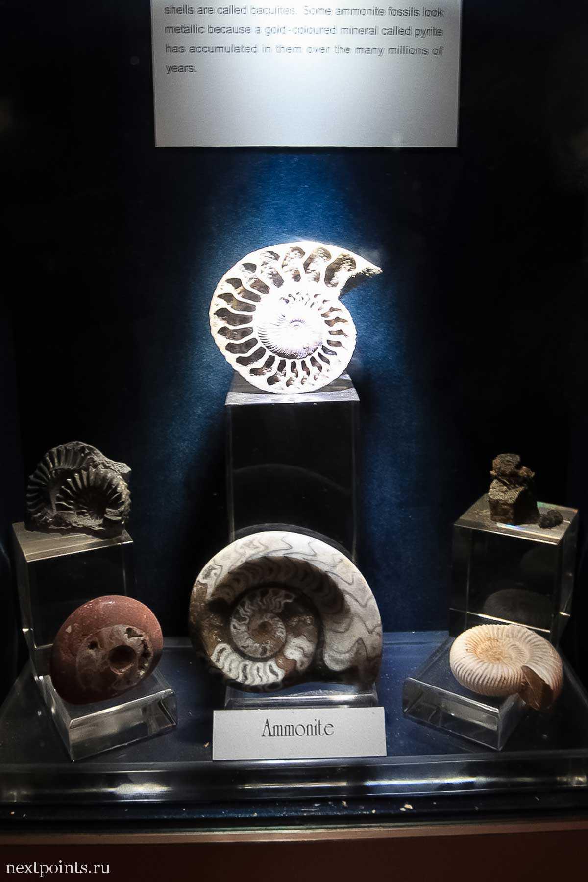 Окаменевшие экспонаты хищных моллюсков аммонитов. Вымерли вместе с динозаврами.