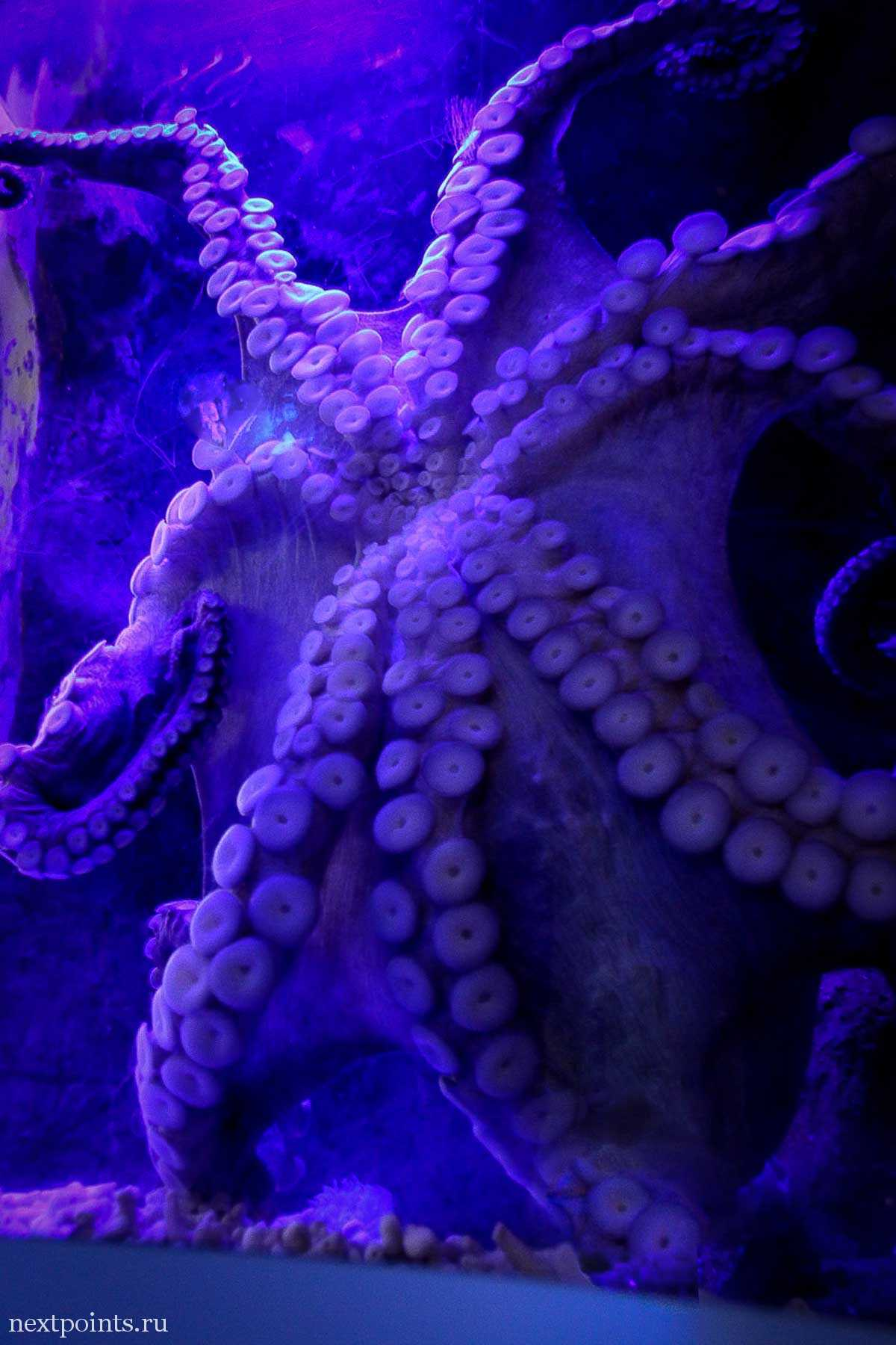 Большой осьминог приклеился прямо к вольеру океанариума Сентозы