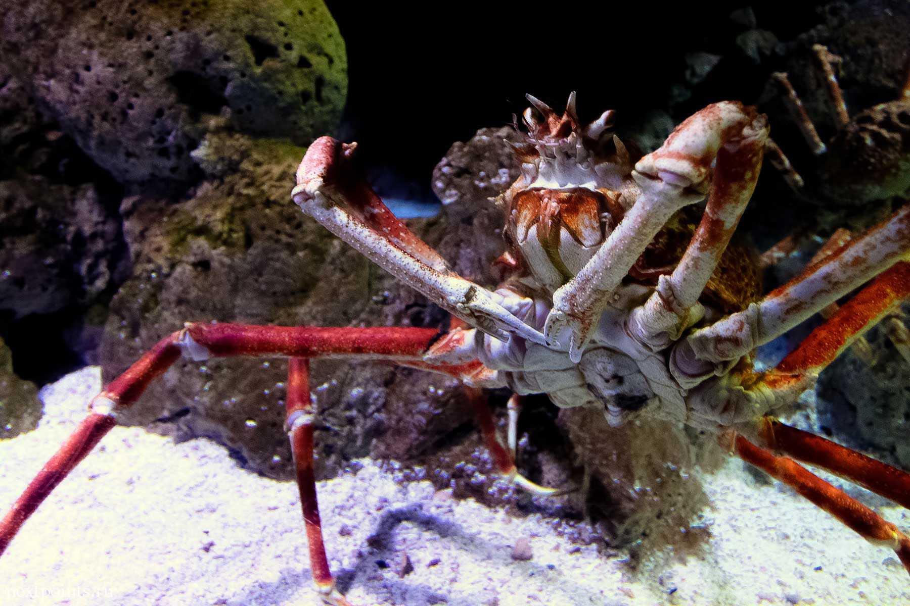 Большой морской краб в океанариуме на Сентозе