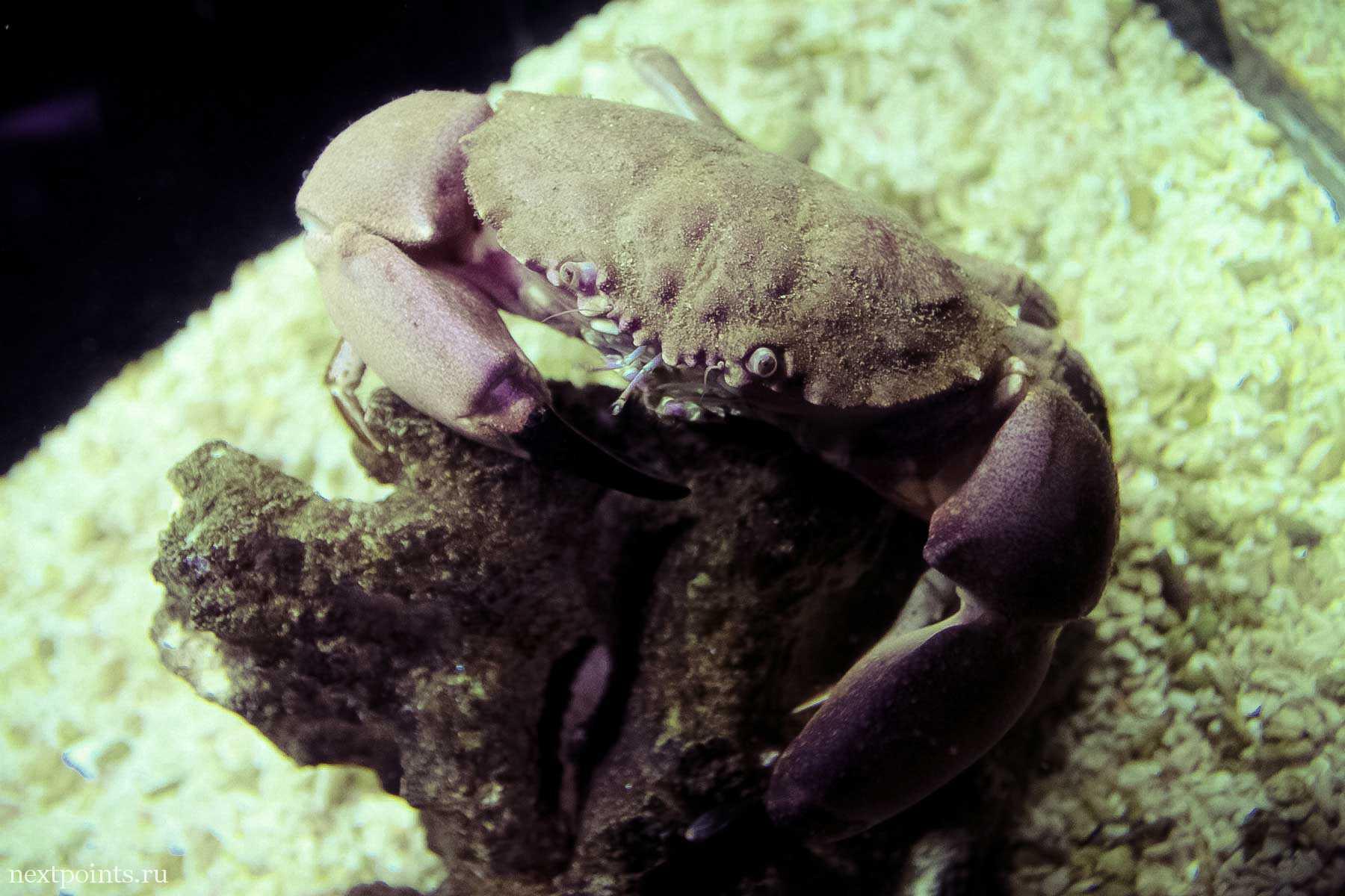Маленький краб океанариума