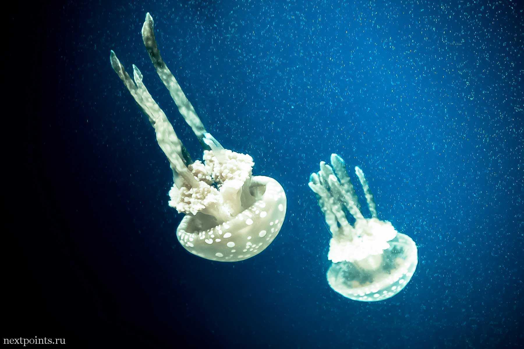 Медузы Сентозы с белой подсветкой