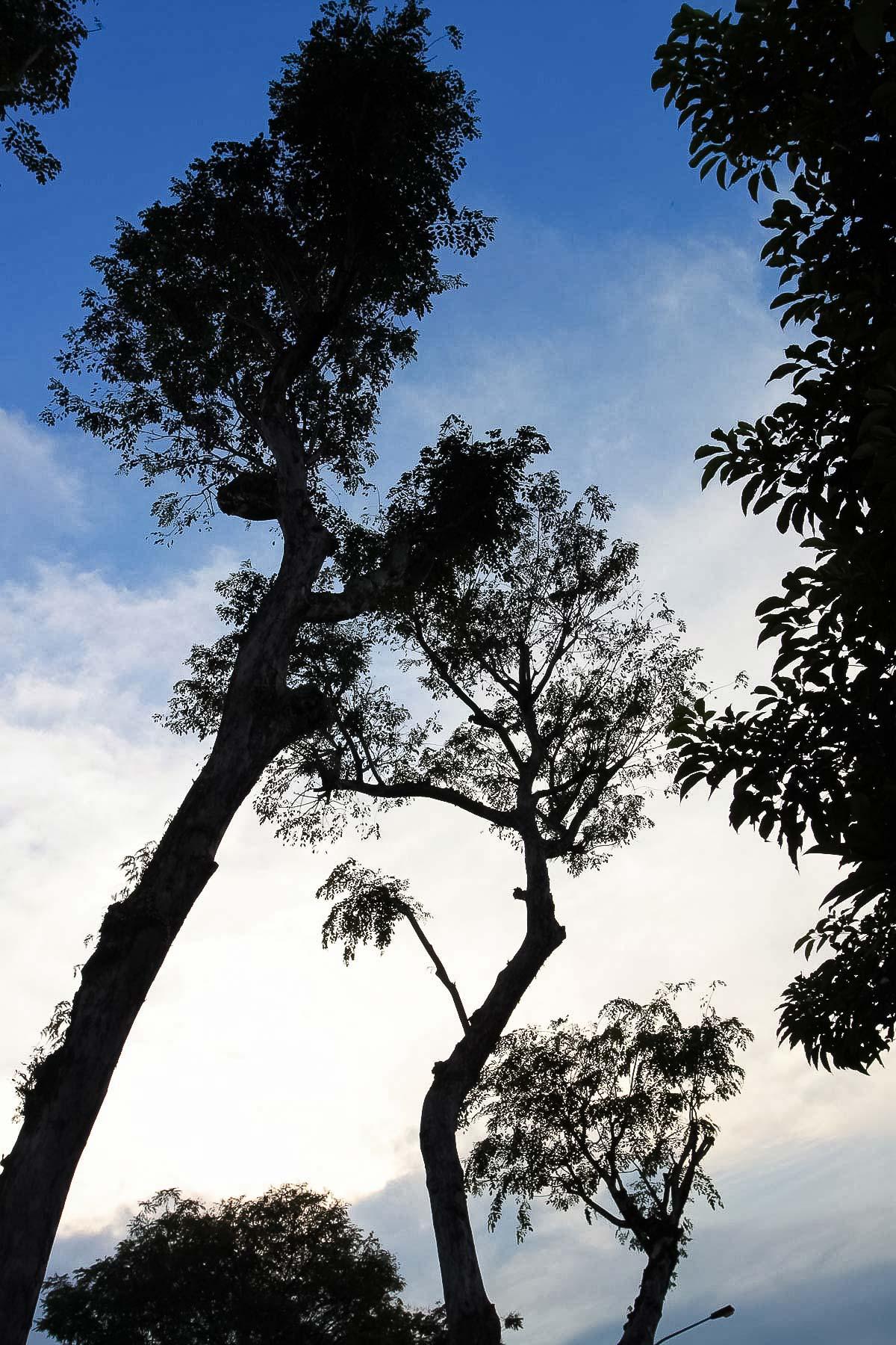 Огромное сингапурское дерево
