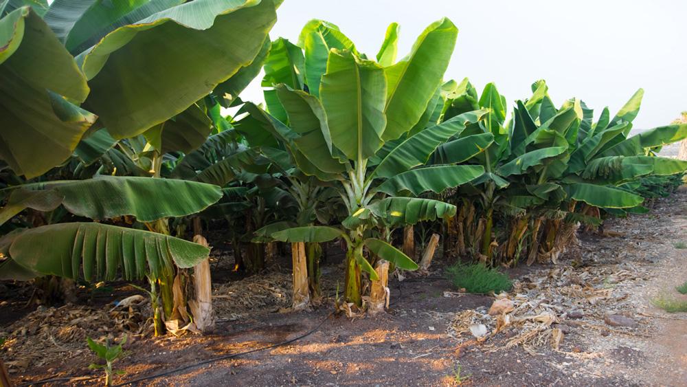 Частная банановая плантация рядом с виллой