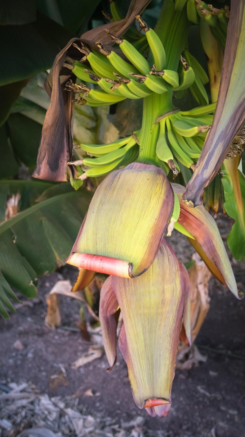 Растут бананы
