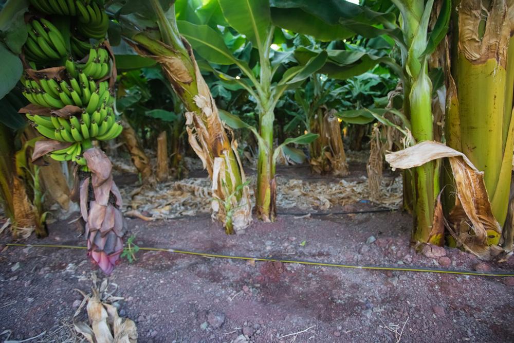 Заросли бананов