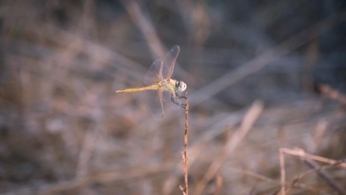 Кипрская стрекоза