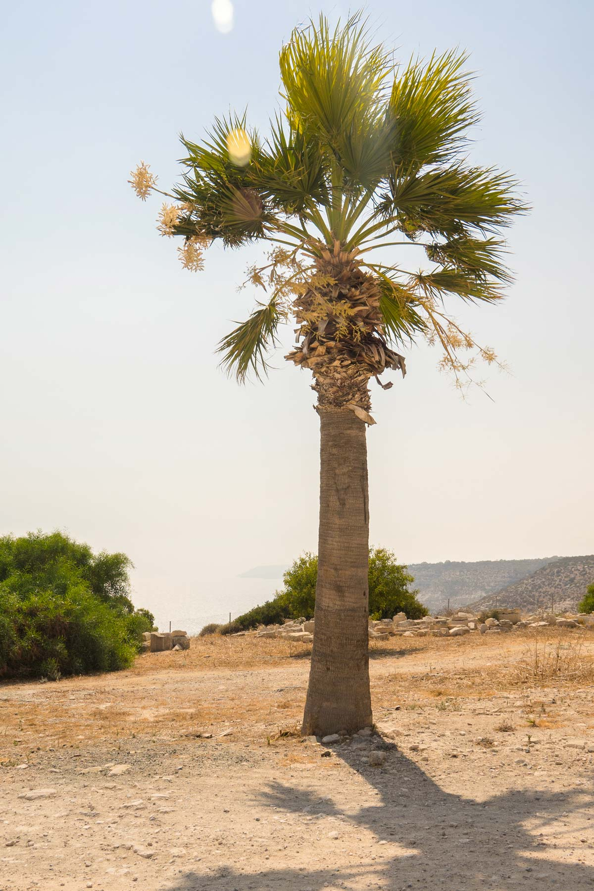 Шумная шелестящая пальма в Курионе