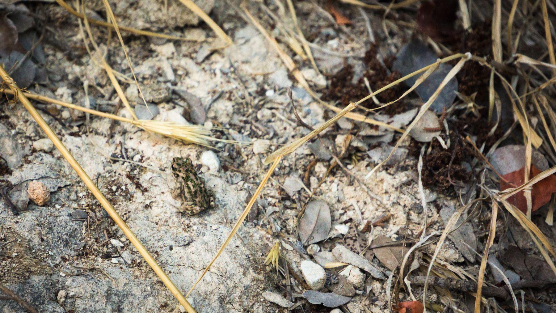 Задумчивая лягушка Авакаса