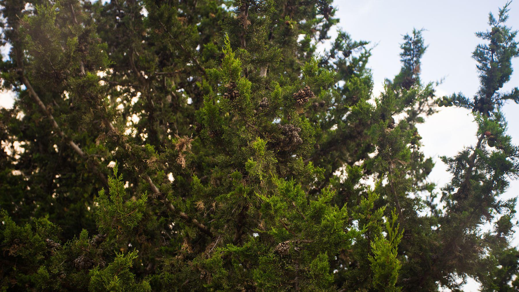 Шишки деревьев
