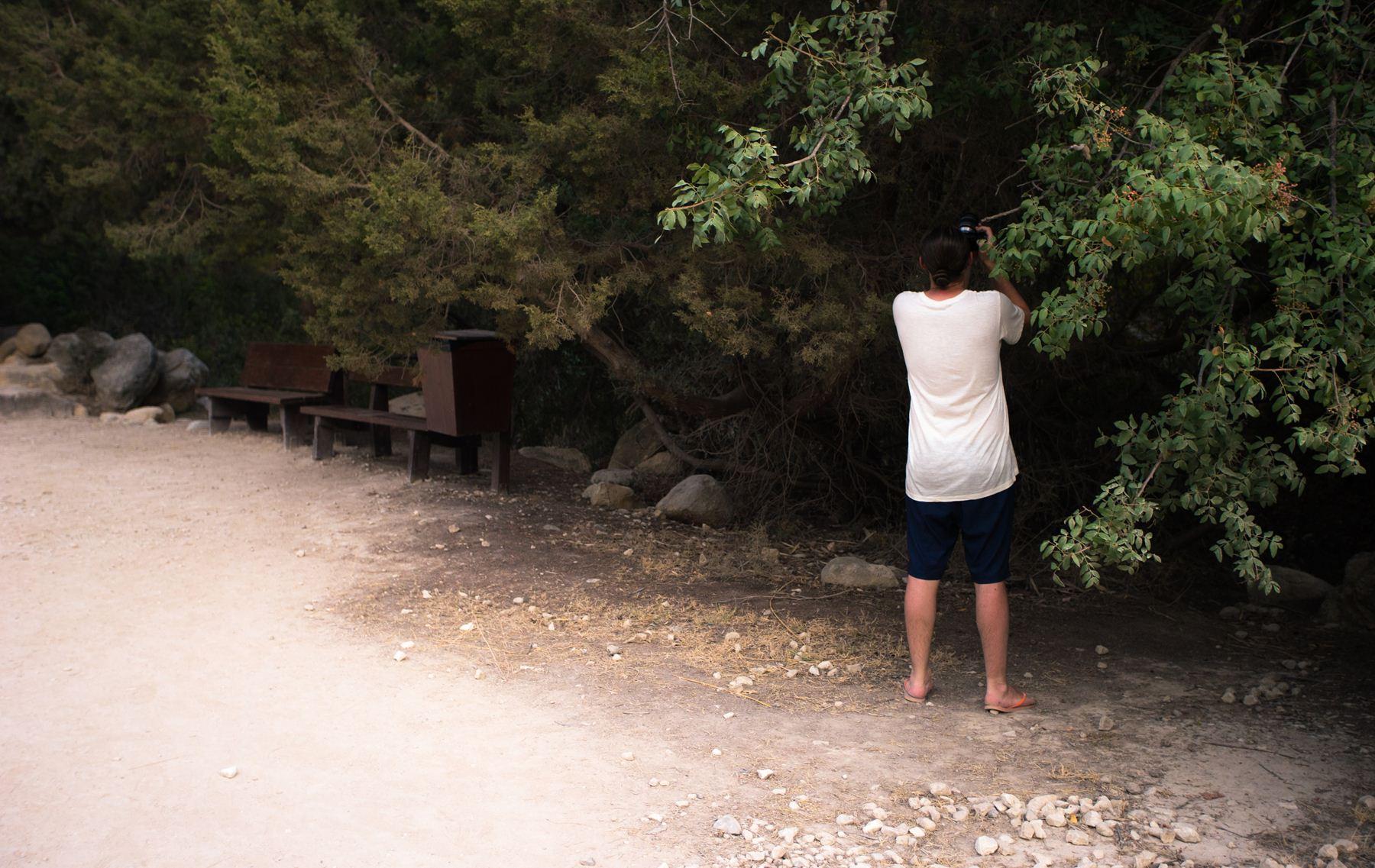 Фотоохота на фисташковое дерево