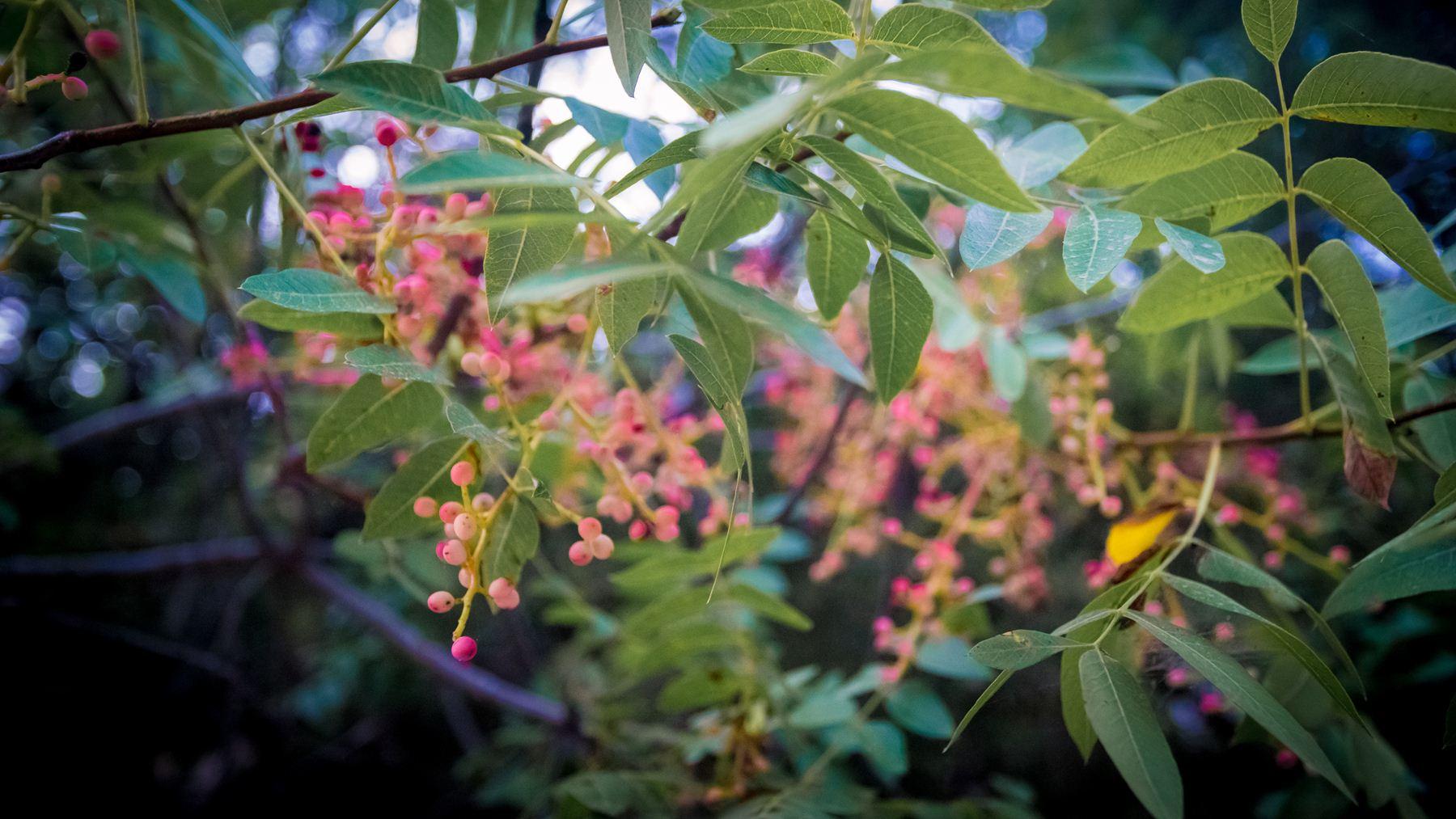 Розовые плоды на деревьях в Авакасе