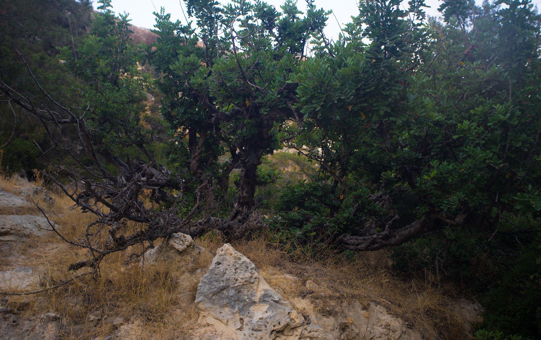 Зеленые деревья Авакаса