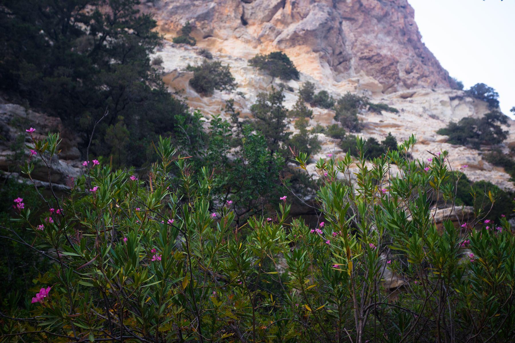 Эндемик Авакаса - розовая Centauria akamantis на фоне гор