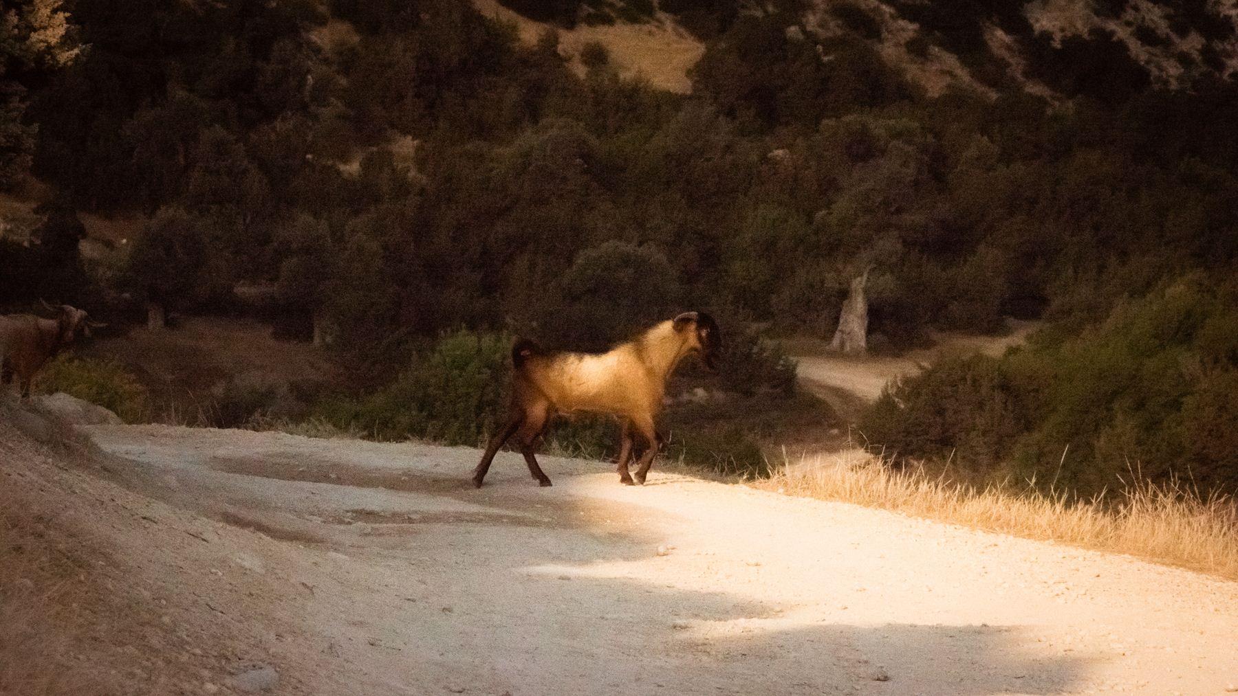 Дикие козы в Авакасе