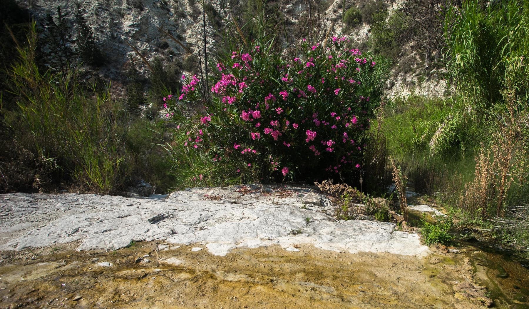 Куст с розовыми цветами