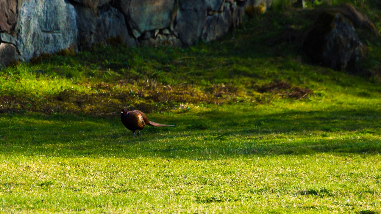 Раскричавшийся фазан