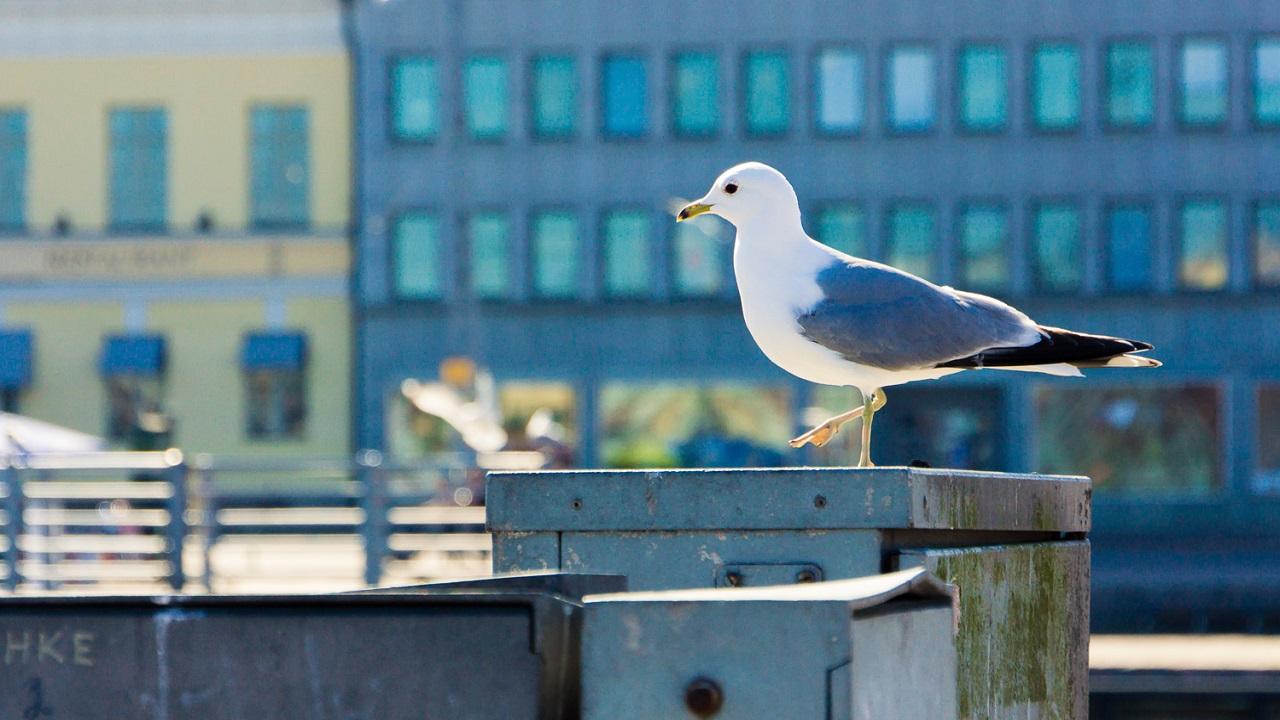 Чайка на пристани Kauppatori с согнутой лапкой