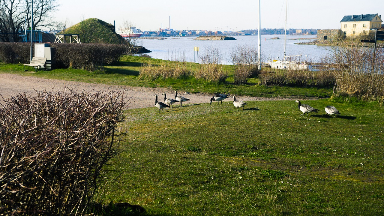 Сходка гусей