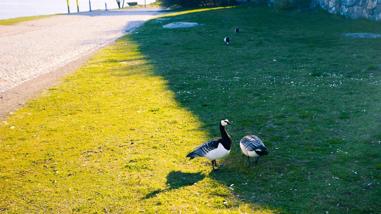 Парочка гусей