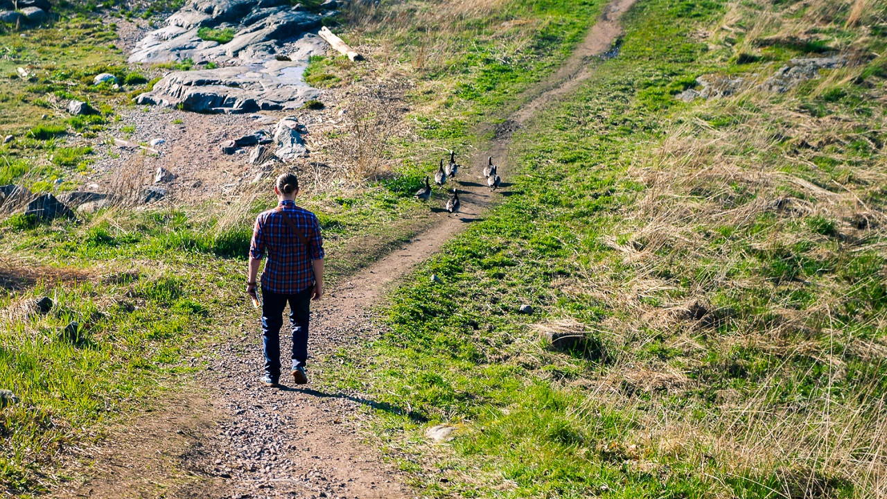 Финские гуси тоже гуляют по тропинкам Свеаборга