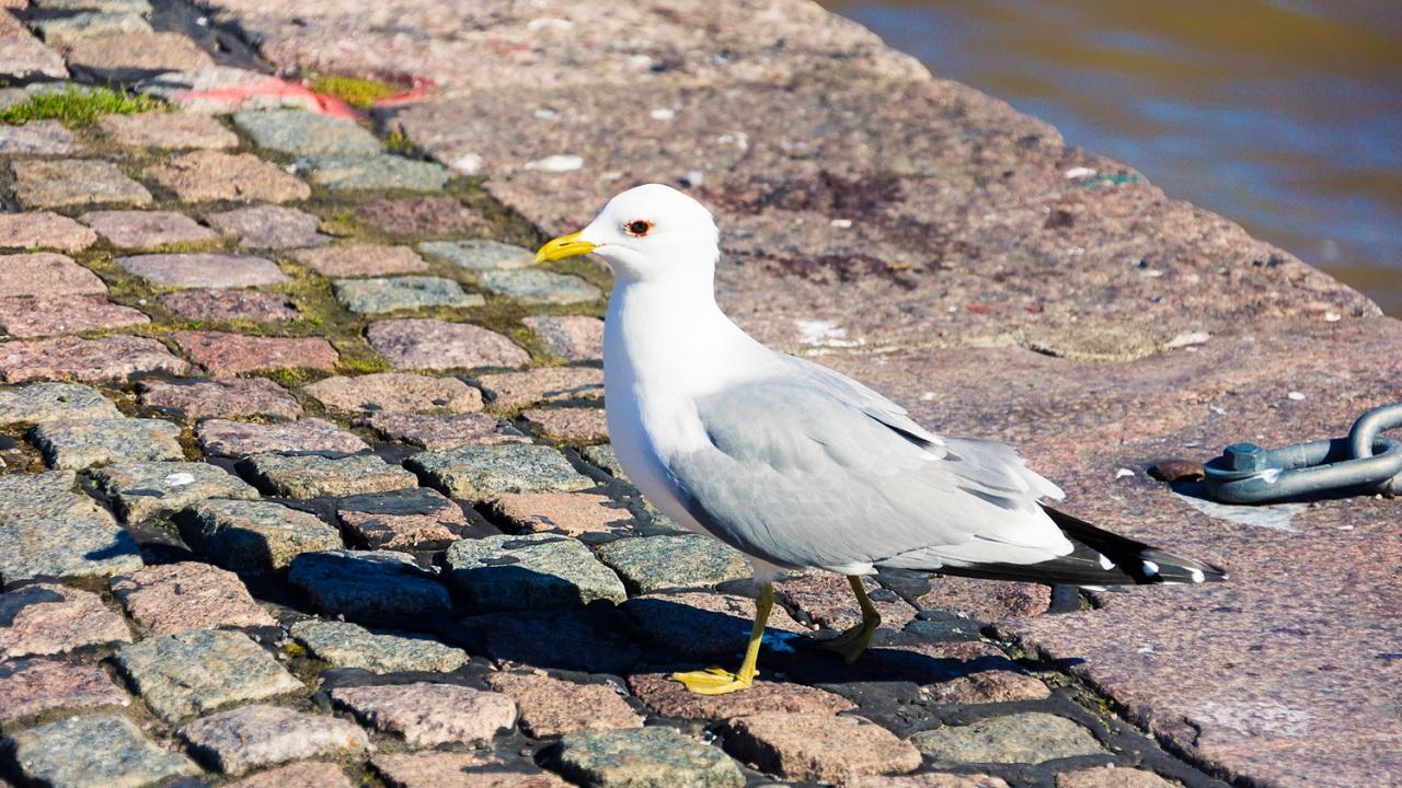Чайка на пристани Kauppatori