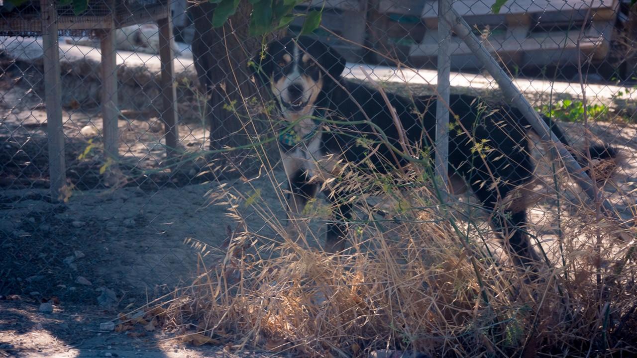 Грозная кефалонская собака, охраняющая чьих-то курочек
