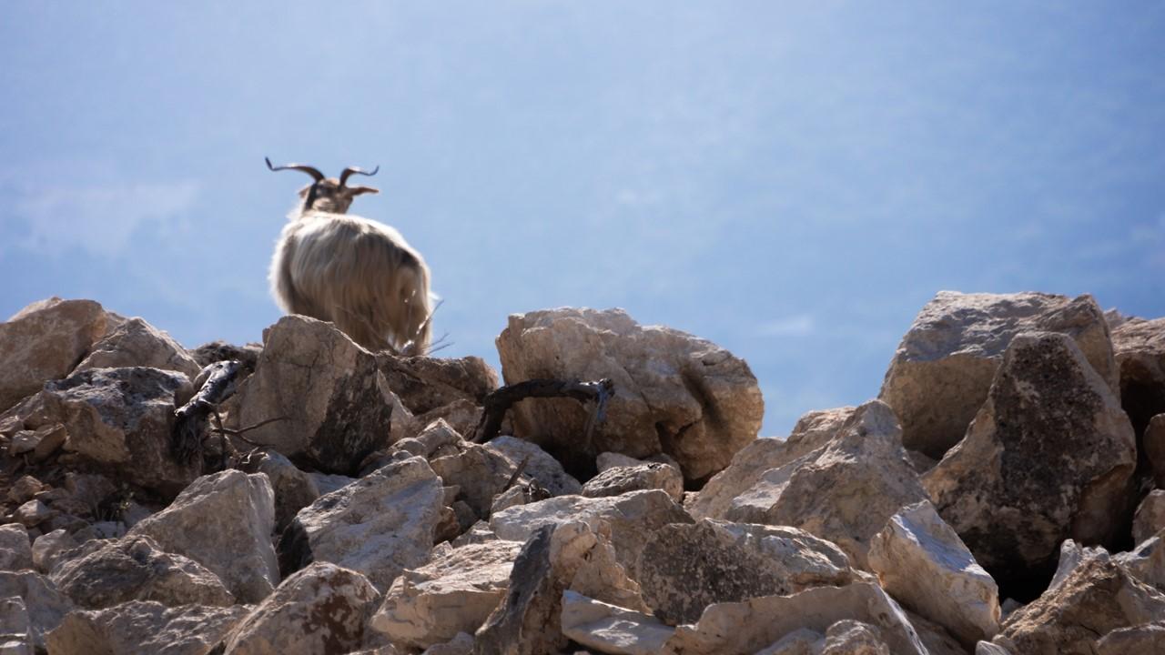 Рогатый козлик на горе на Кефалонии